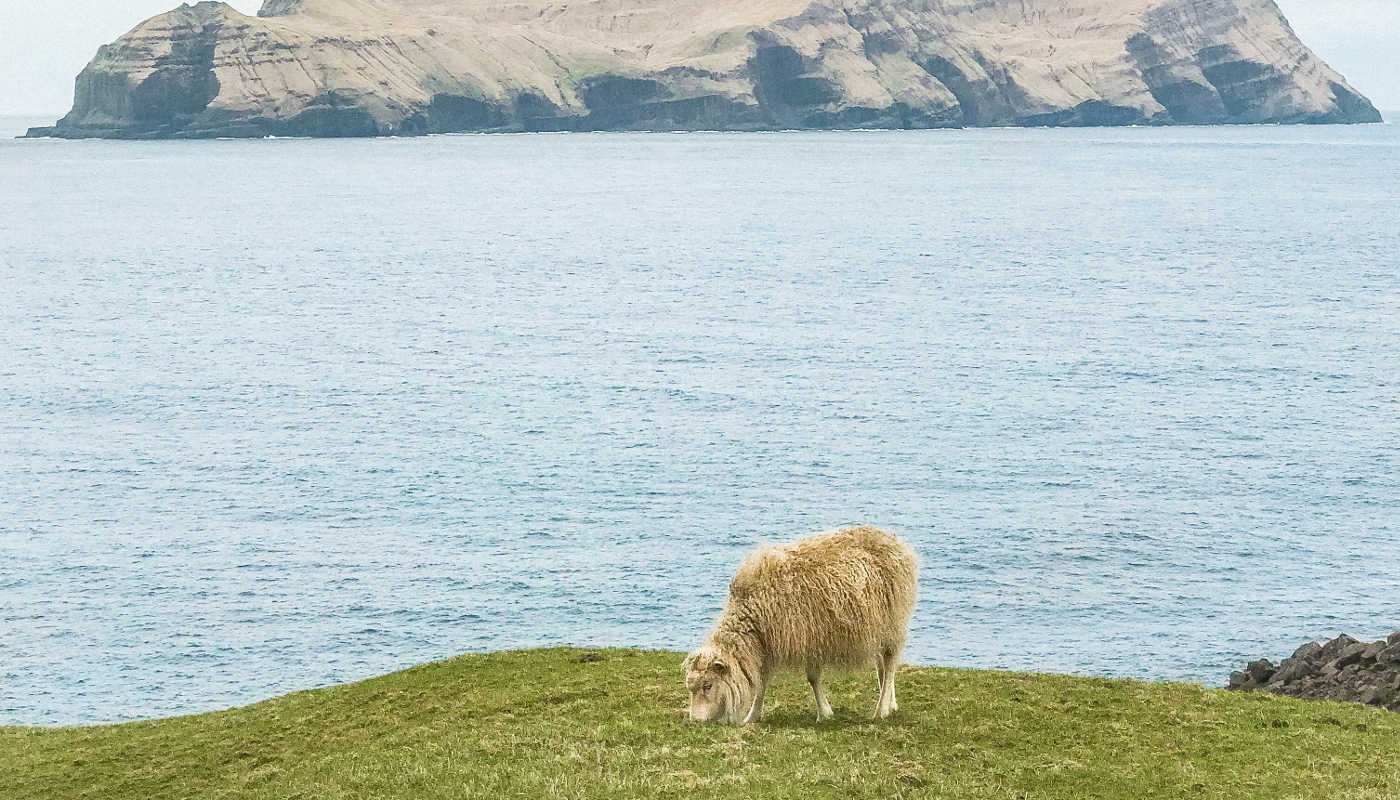 sheep faroe islands